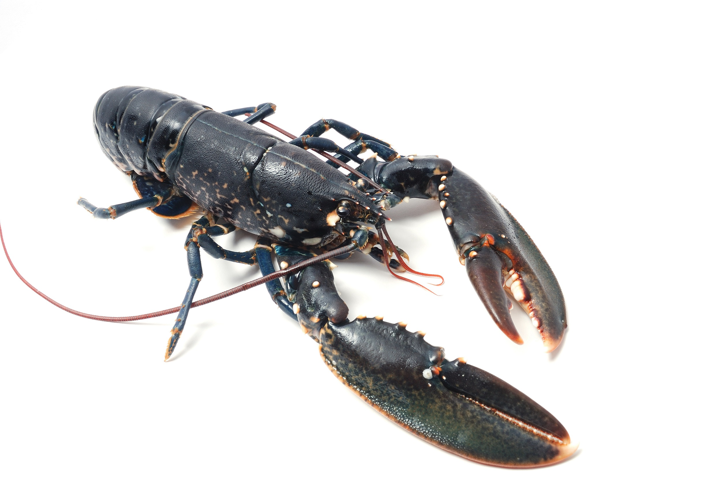 Product Live Lobsters