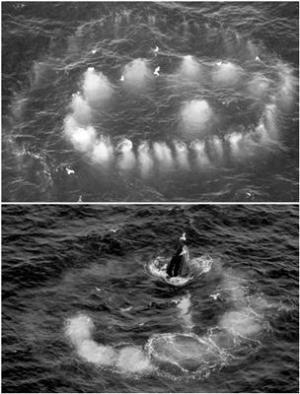 Filet à bulles : la chasse de la Baleine à bosses