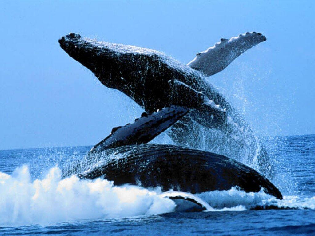 Saut de la Baleine à bosses