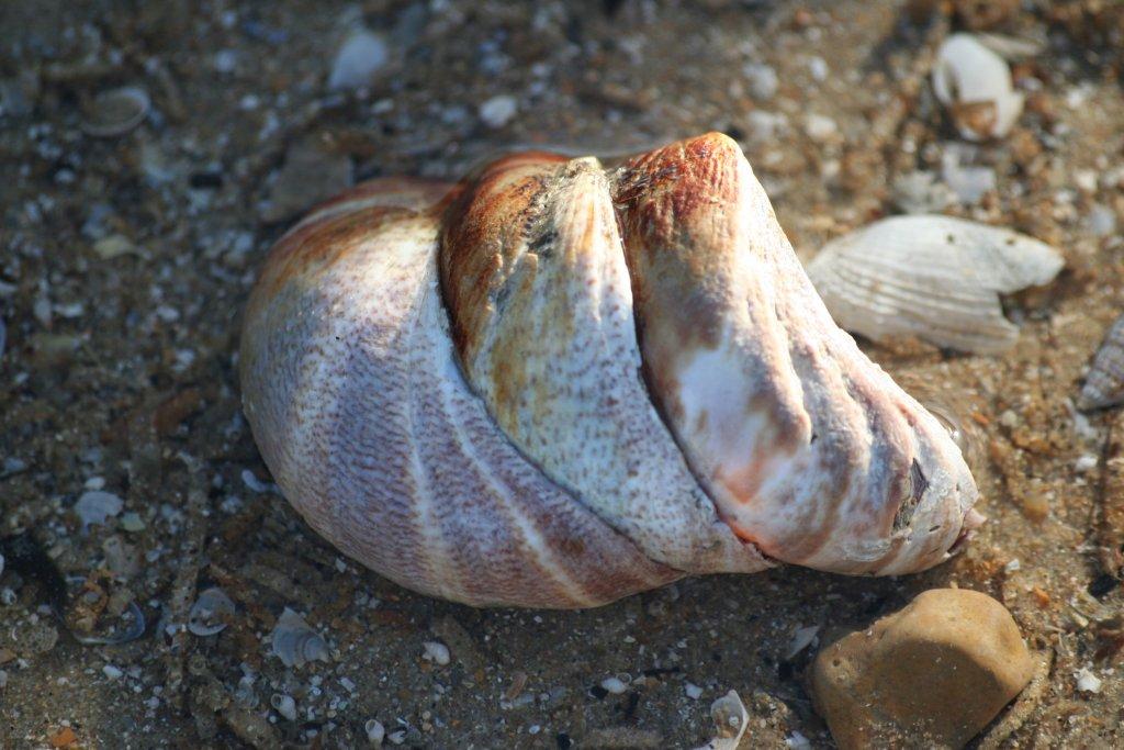 espèces invasives crépidule